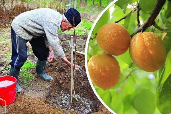 посадка абрикос