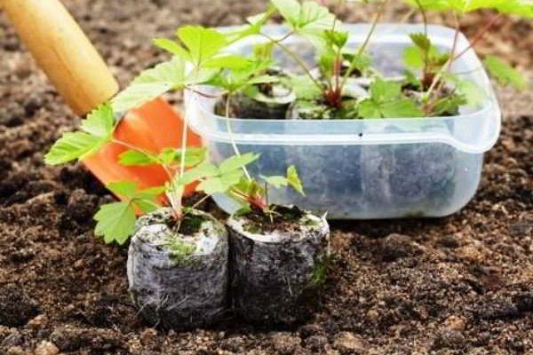 выращивание клубники с семян