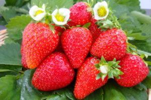 Почему ягоды клубники не краснеют и сохнут, борьба с вредителями