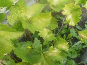 Описание и виды болезней и вредителей винограда, лечение и борьба с ними