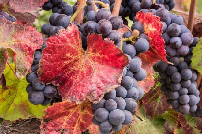 болезнь листьев винограда