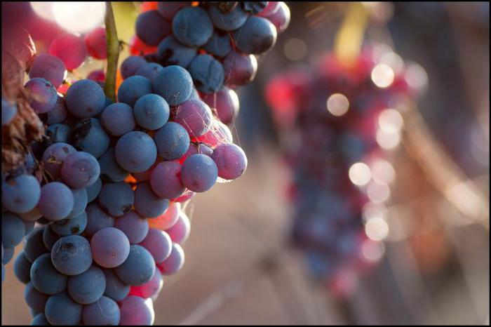виноград на дачи