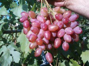 Описание винограда сорта Гелиос, правила выращивания и ухода