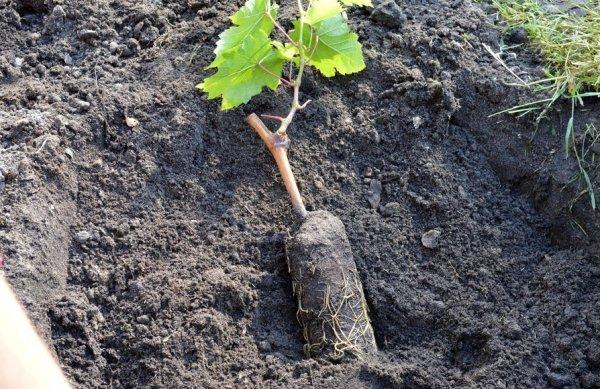 выбор к посадке винограда