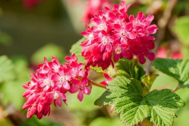 яркие цветы декоративной смородины