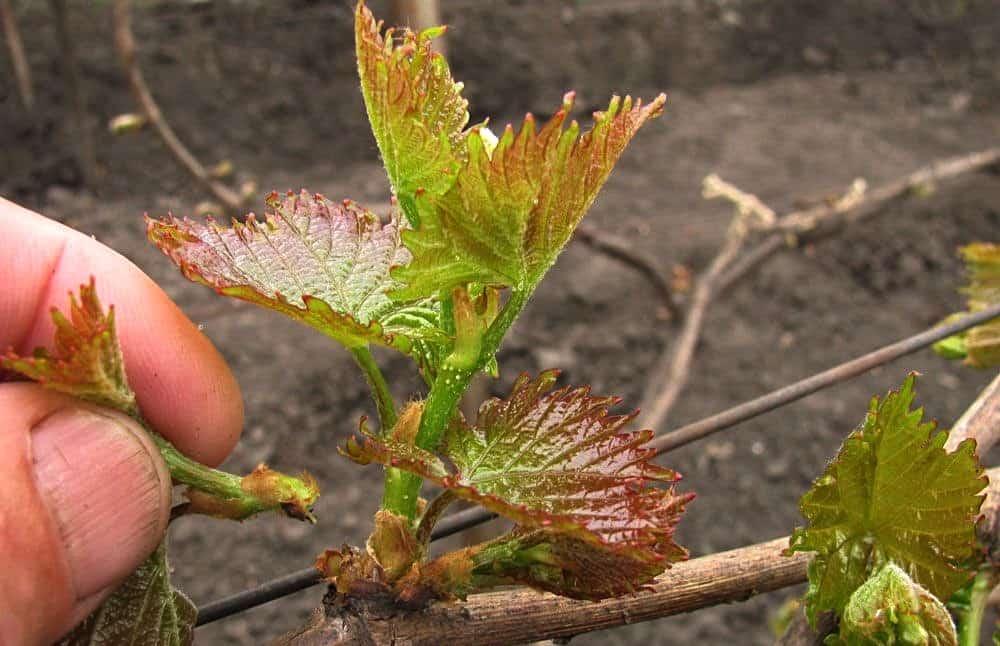 прищипывание винограда