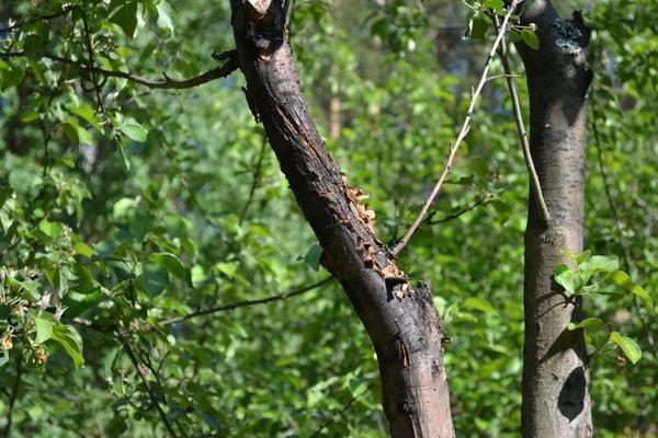 болезнь плодового дерева