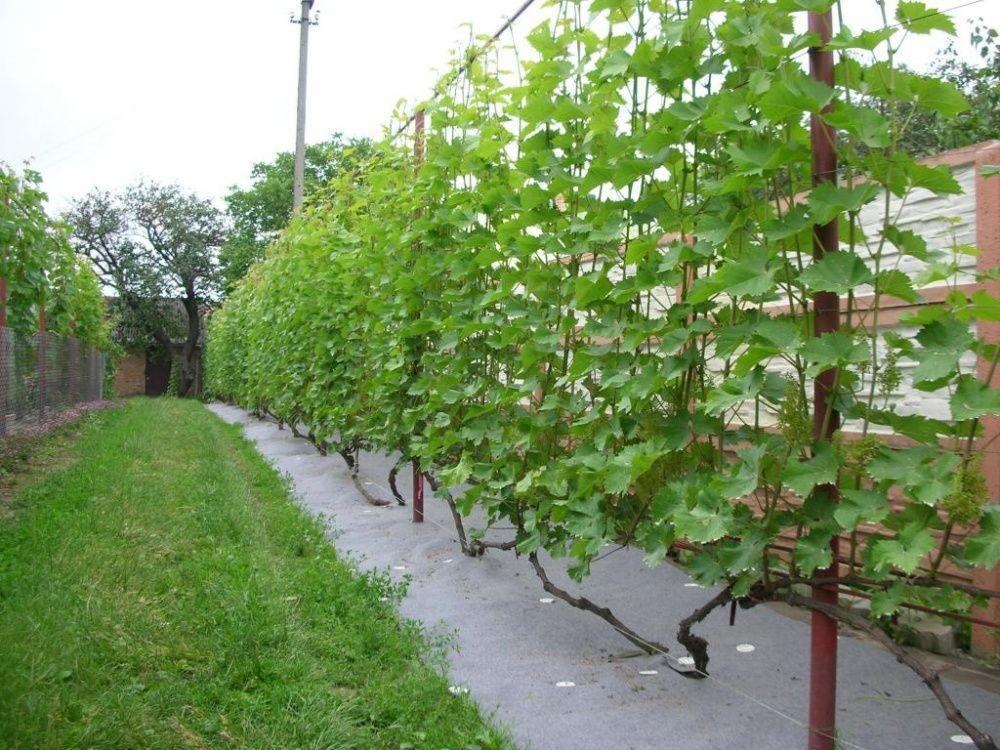 сад винограда