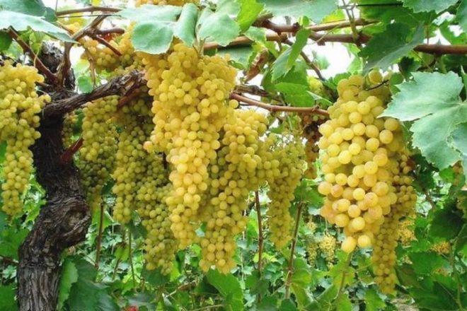 виноград шасла