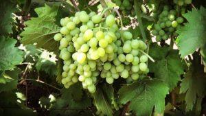 Характеристики и технология выращивания сверхраннего сорта винограда Элегант