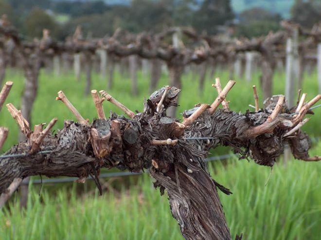 формирование винограда