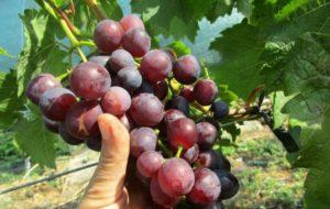 Описание винограда сорта Блестящий и технология выращивания
