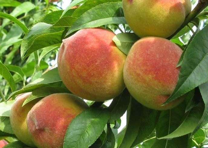 сорт персика