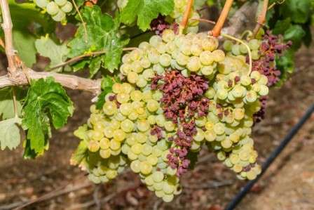 гнилой виноград