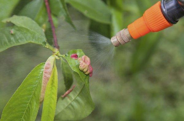 обработка персика