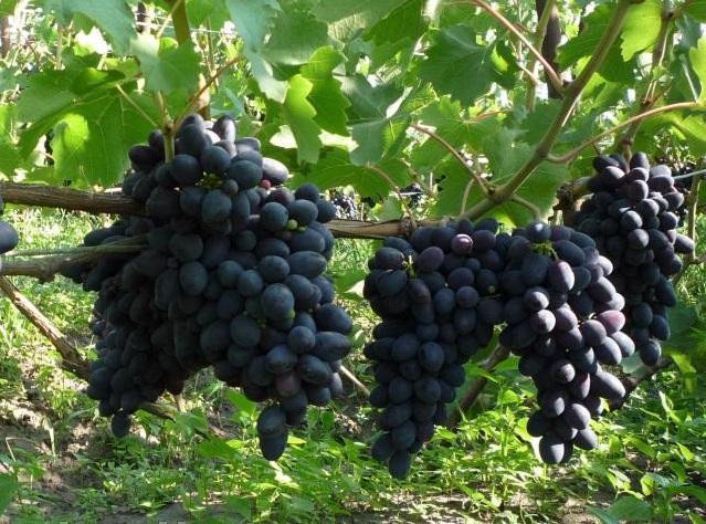 виноград сюрприз