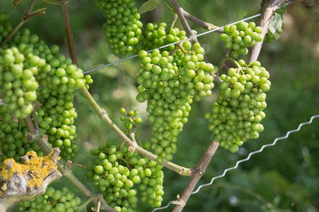 ложные сорта винограда