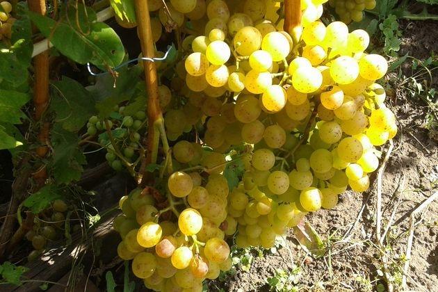виноград выращивание в россий
