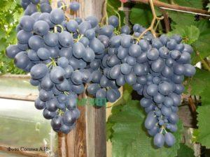 Описание винограда сорта Агат Донской, правила посадки и ухода
