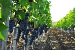 Описание и характеристики винограда сорта Каберне, посадка и уход