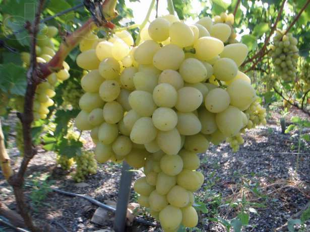 виноград столетий