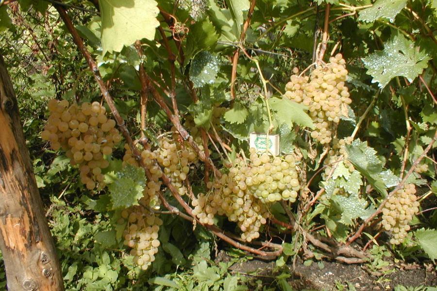 виноград победитель