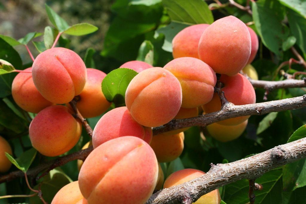 абрикосы в саду