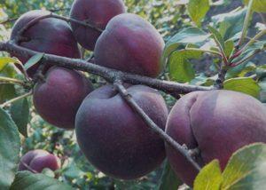 Описание и правила выращивания абрикоса сорта Черный бархат