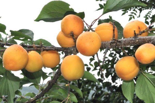 ветки с абрикосами