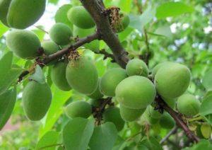 По каким причинам абрикос часто сбрасывает зеленые плоды и методы борьбы с опаданием
