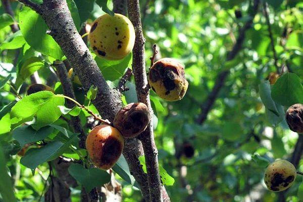 Парша у абрикоса