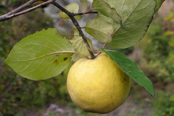 одинокий плод
