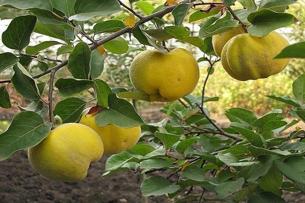 ветка с фруктами