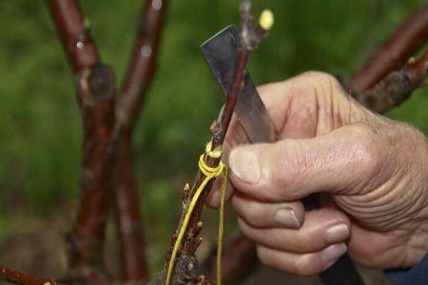 размножение дерева