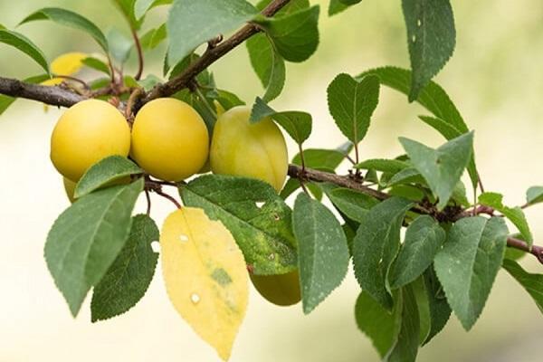 желтые ягоды