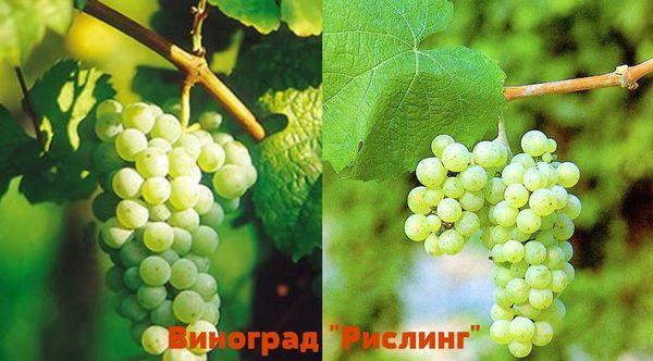 виноград Рислинг