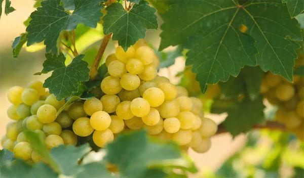 виноград Цолокоури