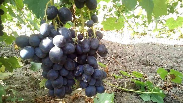 виноград Тангра