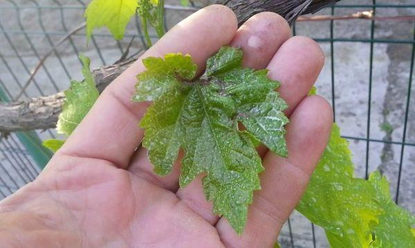 листок винограда