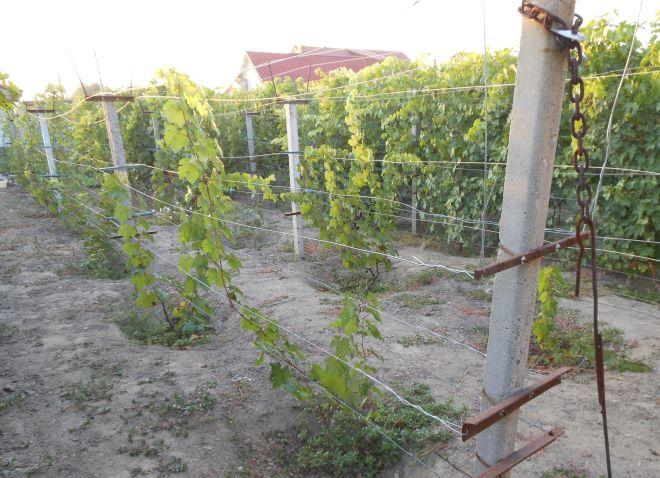 шпалера с виноградом