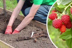 Пошаговая инструкция по посадке и уходу за малиной летом, советы садоводов
