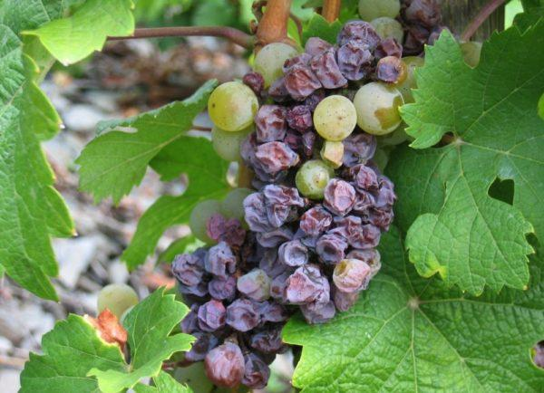 гибель винограда