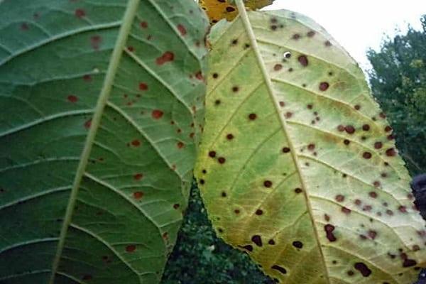 черные пятна на листьях