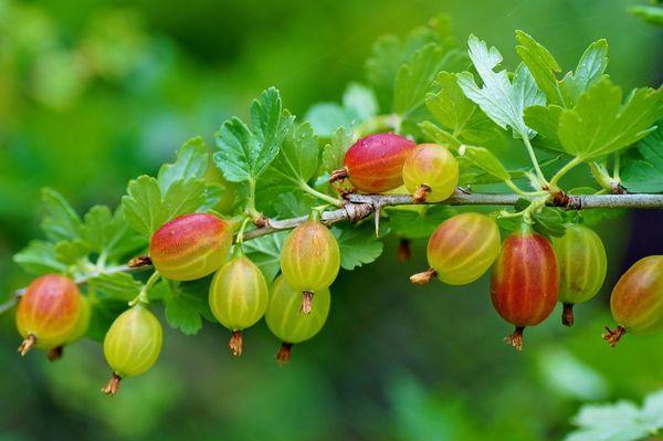 Опадение ягод