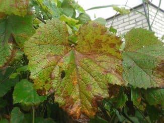 виноград Разновидности пятен Коричневые
