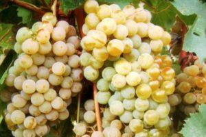 Описание и технология выращивания винограда сорта Цитронный Магарача