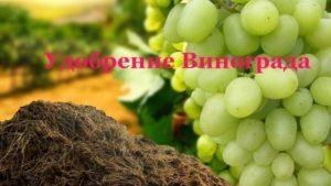 Лучшие средства, чем подкормить виноград в июле для улучшения плодоношения