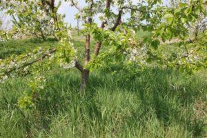Описание и выращивание черешни сорта Брянская розовая, опылители
