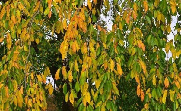 черешня осенью
