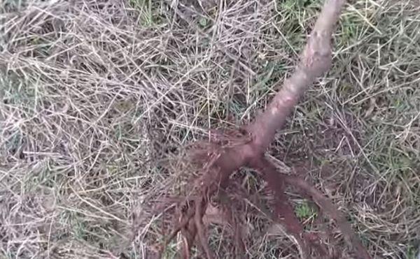 саженец с корнями